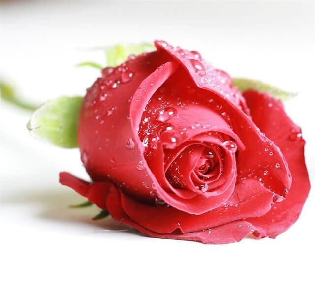 red-rose-8 (1)
