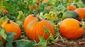 Benefits Of Having Pumpkin